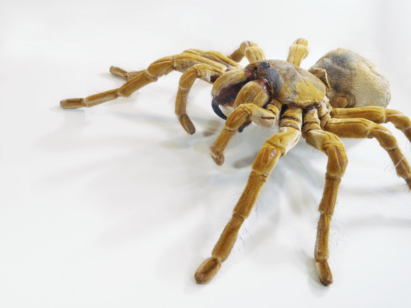 Обои на рабочий стол паук птицеед